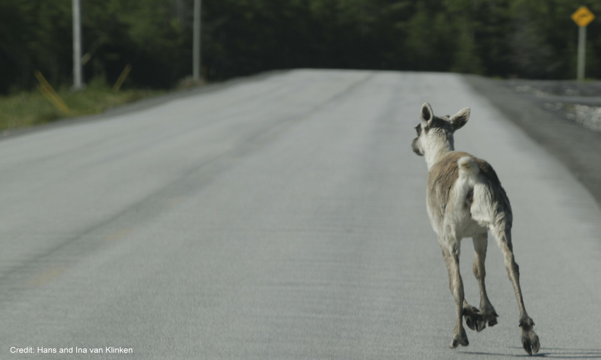 Young caribou exploring his surroundings in Main Brook, NL