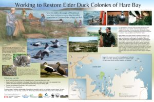 Eider Duck Conservation Panel in Main Brook, NL